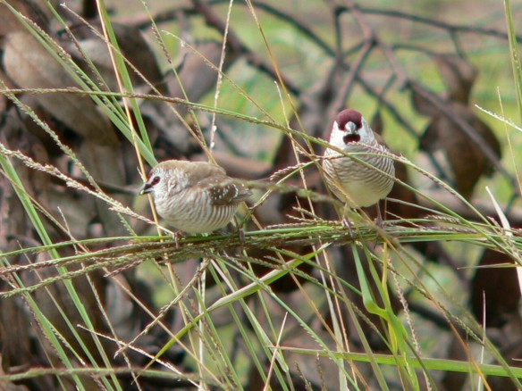 Plum Headed Finch - Recently spotted at the Menindee Lakes